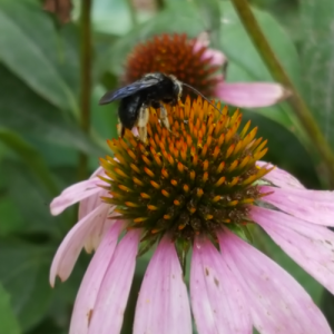 A bumblebee collects pollen from a coneflower