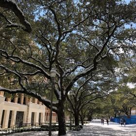 Tree from UT Campus