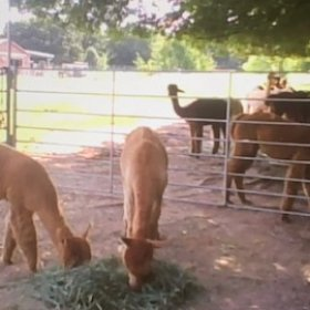 A screenshot of alpacas grazing during the Healthtopia Alpaca Meet and Greet online session
